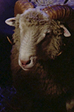 Episode image Sheep